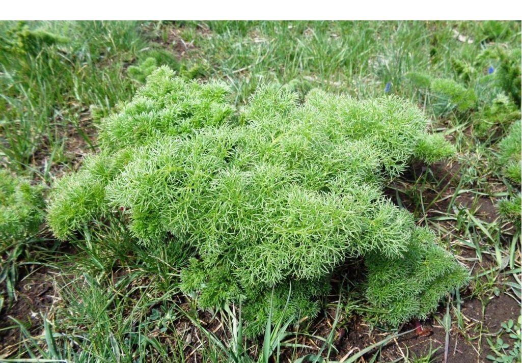 """Une muscari (""""jacinthe à grappe"""") et une étrange plante foisonnante dont je ne connais pas le nom."""