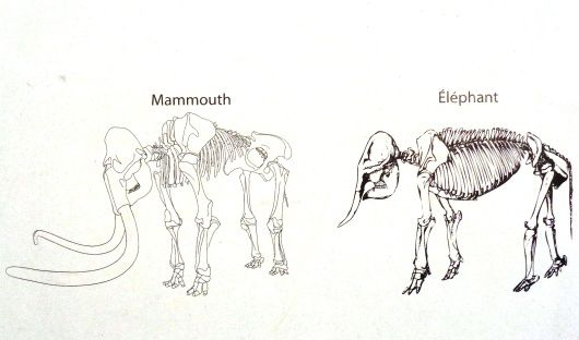 Mammouth laineux
