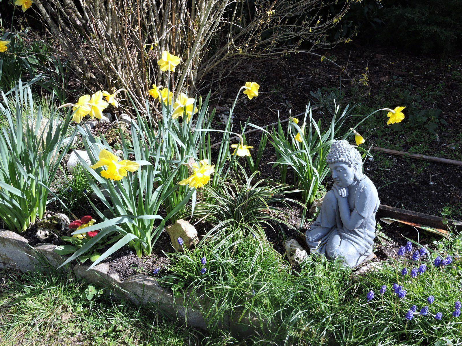 Les narcisses tiennent compagnie au bouddha ...