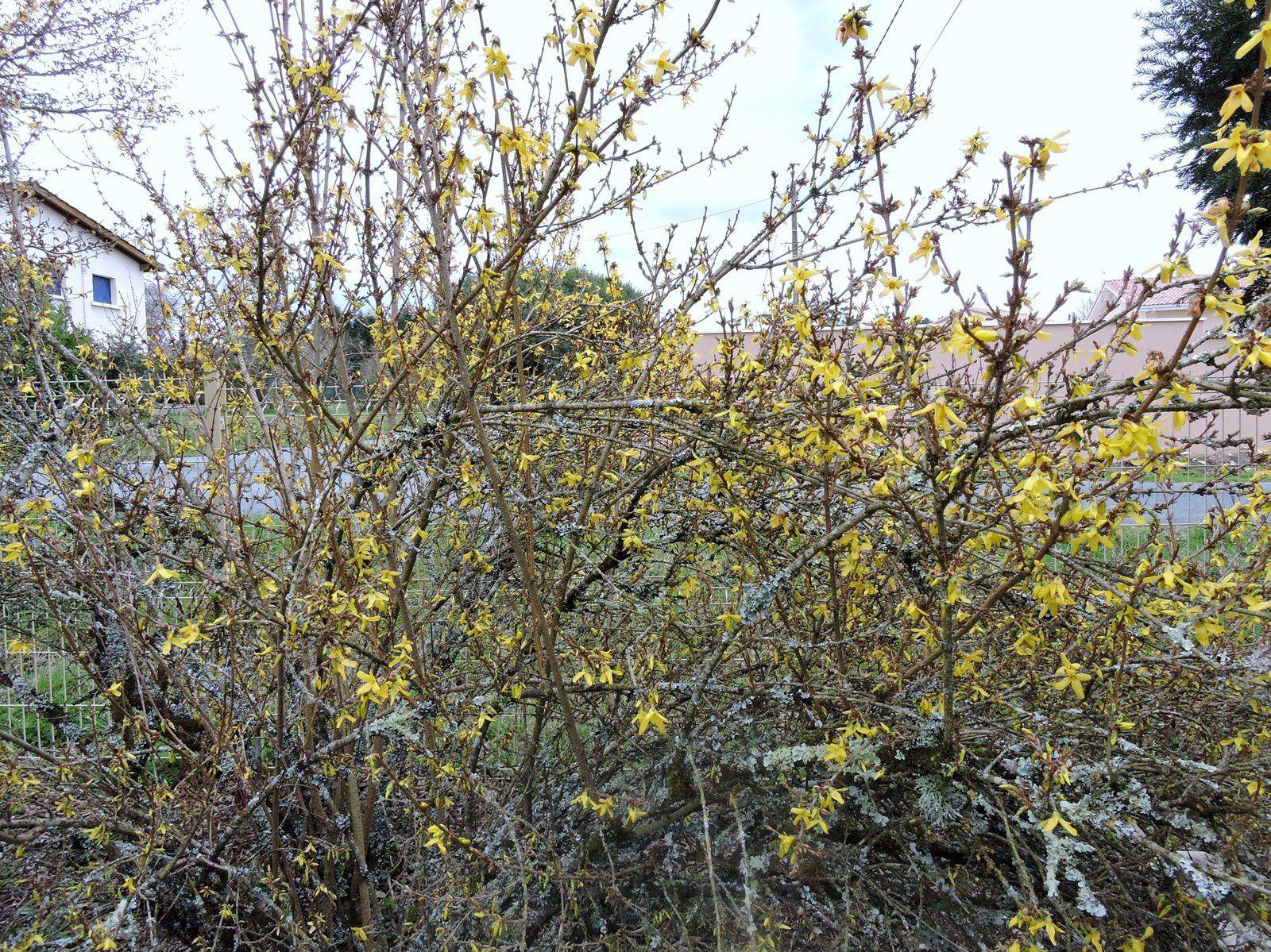 Le forsythia  se recouvre de clochettes jaunes signe que le printemps est bien route !
