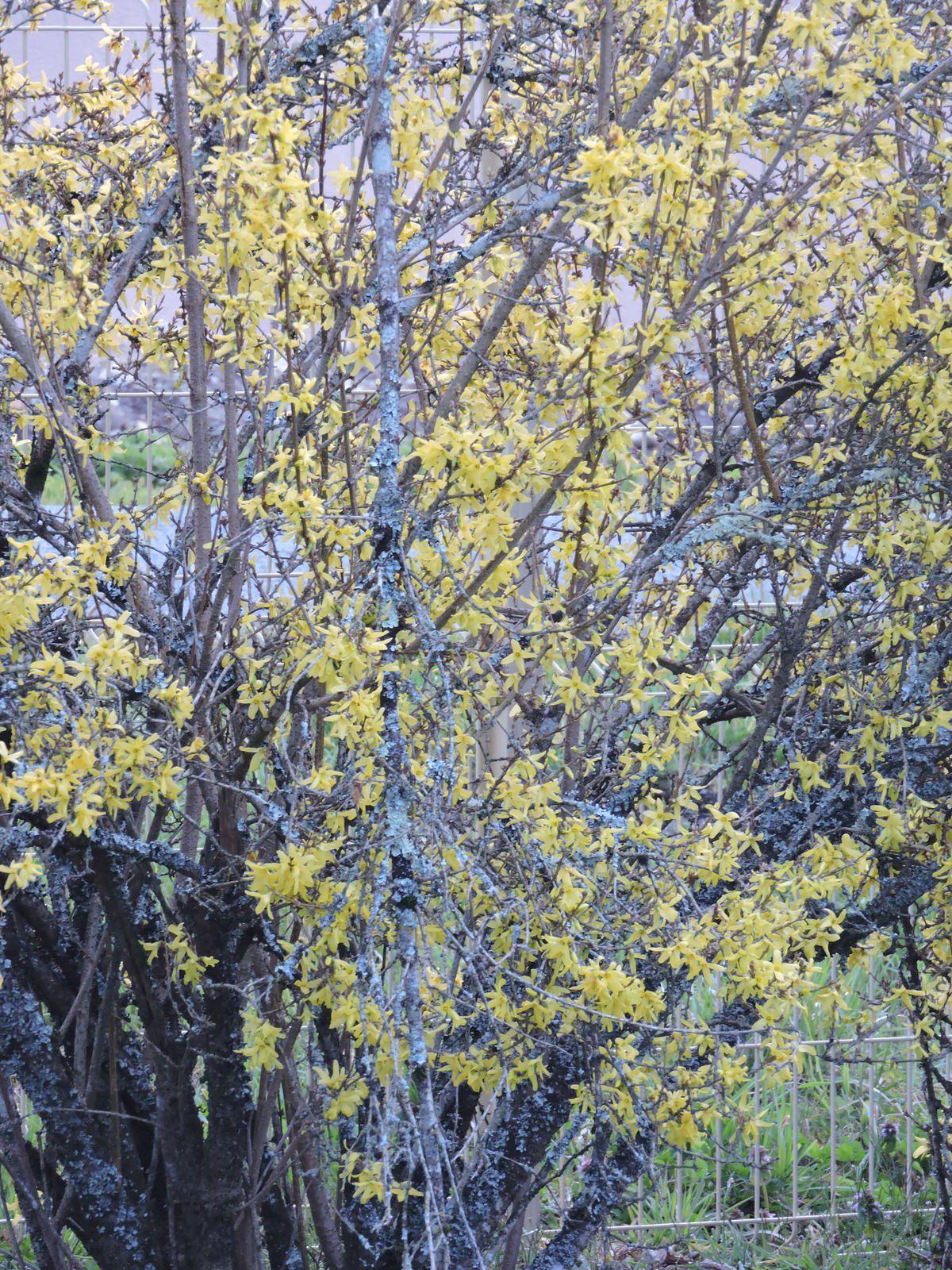 La nature se réveille doucement au loin le cerisier fleur commence a agiter ses clochettes roses .