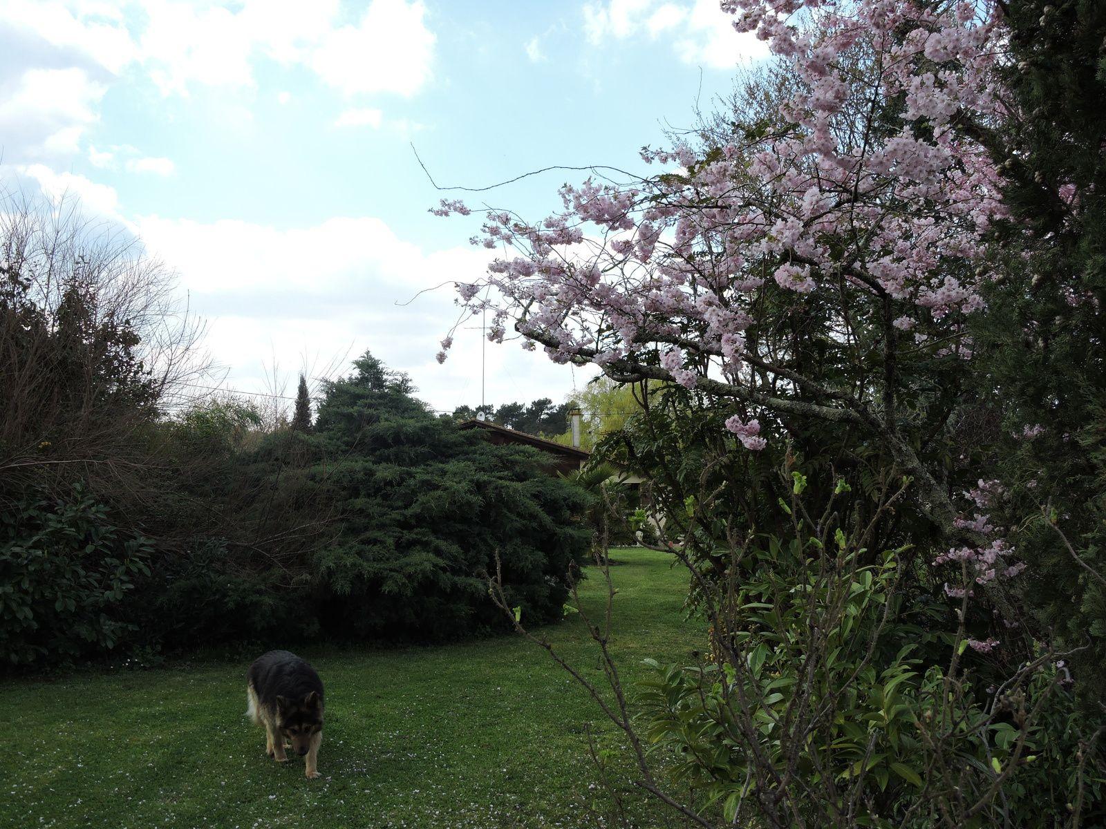 Le cerisier a été sérieusement taillé , il était devenu trop large ... les petites fleurs s'ouvrent de plus en plus chaque jour.