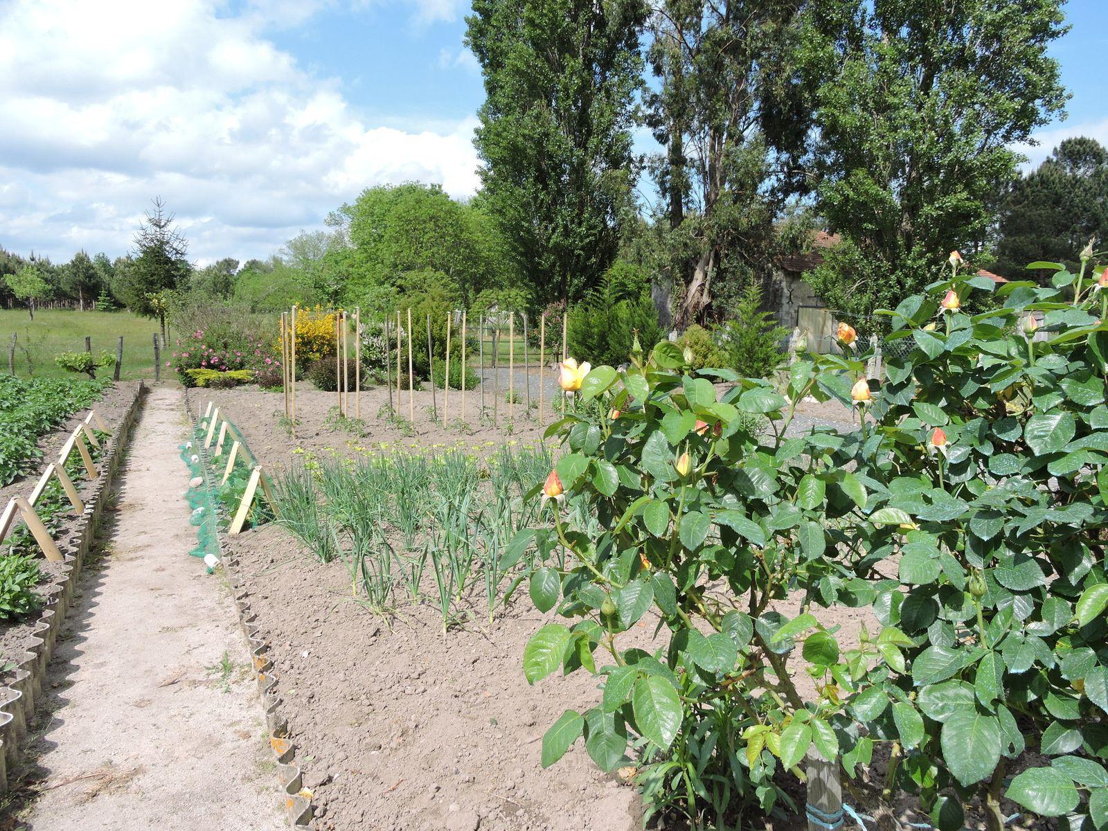 Du côté des légumes les plantations commencent ... le jardinier a pris un de retard cette année , le temps ne se prêtait pas à travailler au jardin !