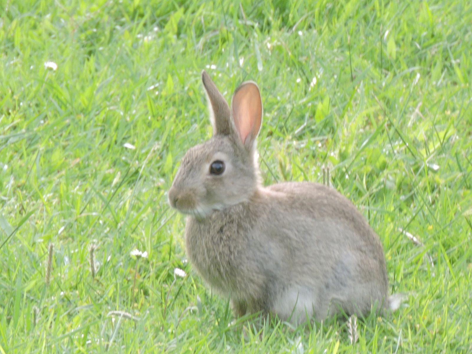 Les lapins ont envahi le jardin ! ils sont si mignons mais ils mangent mes fleurs ! je les regarde le soir assise sur le banc un pur moment de bonheur ! je les observe lorsqu'il ne pleut pas !