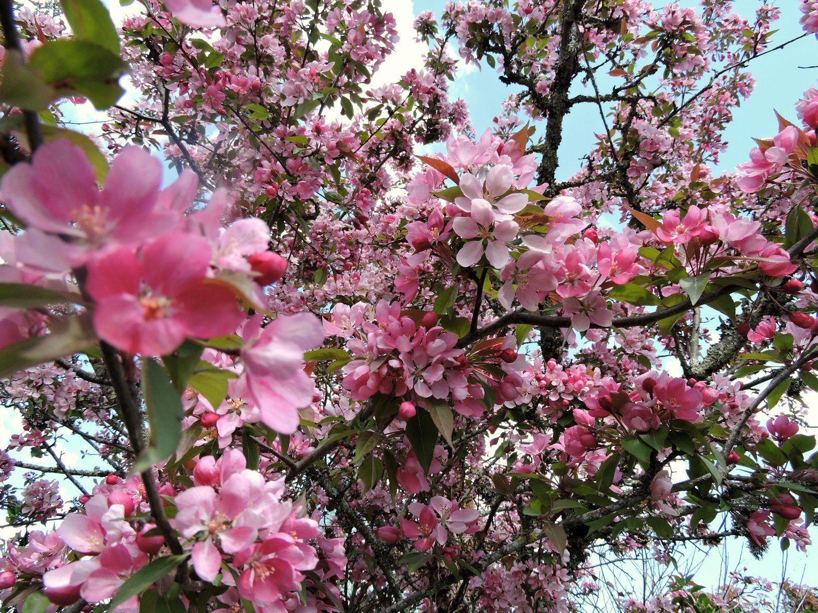 Belle floraison du pommier fleur