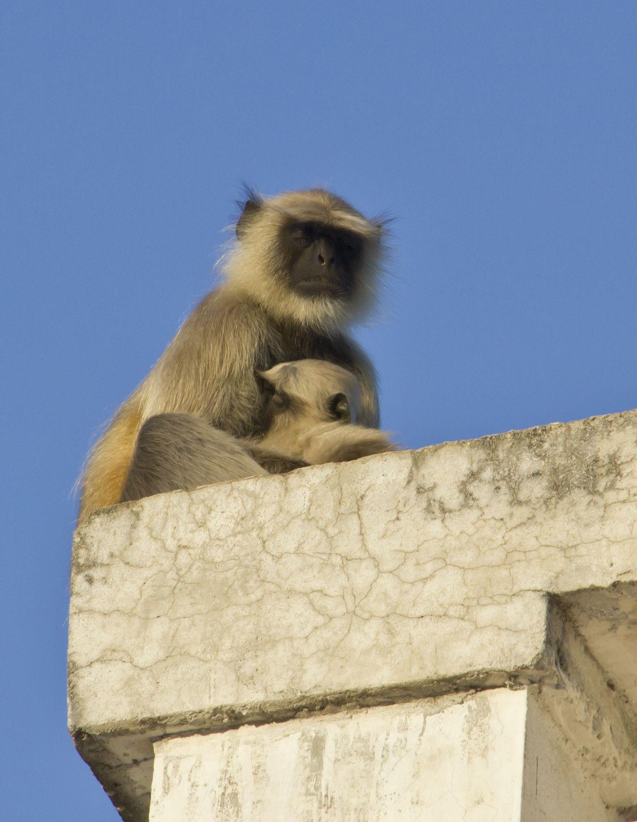 Une guenon et son petit sur le toit
