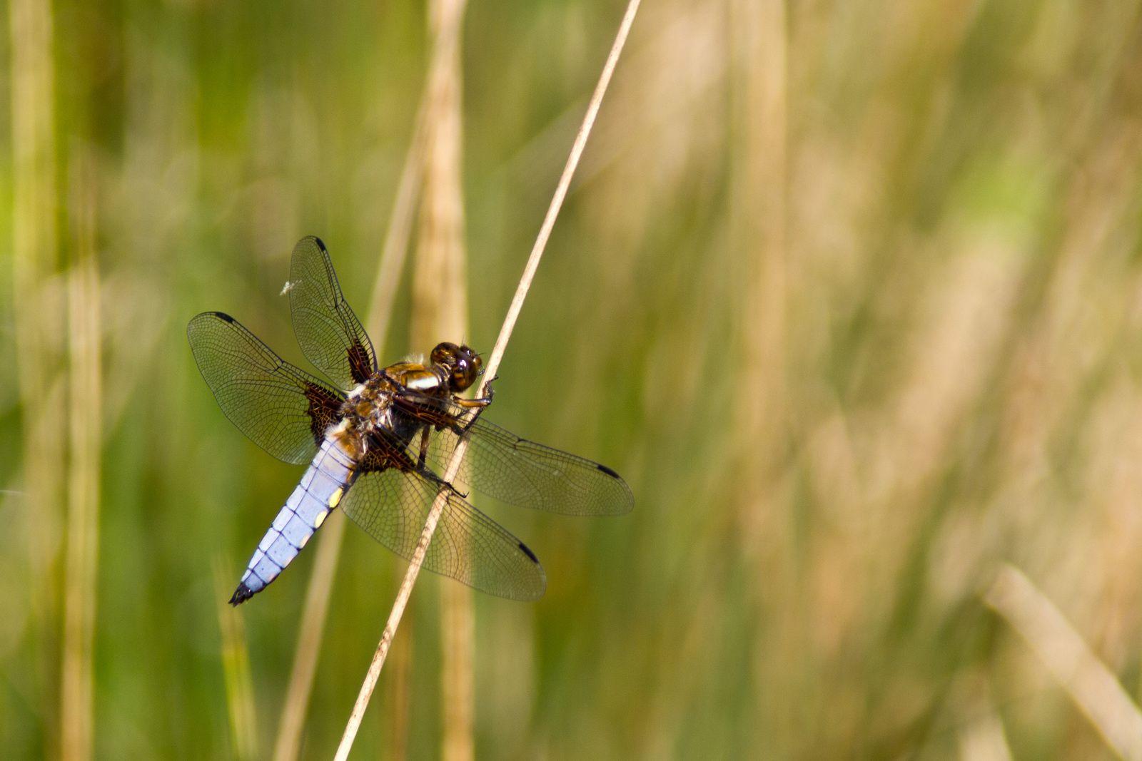 Différentes libellules.