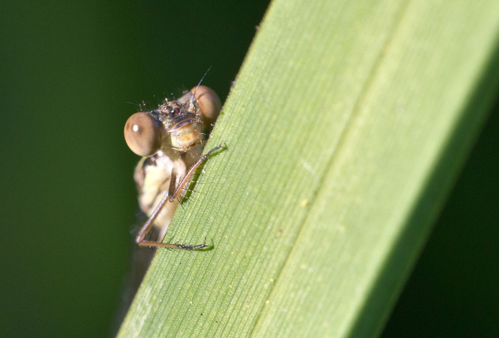 Détails de libellules