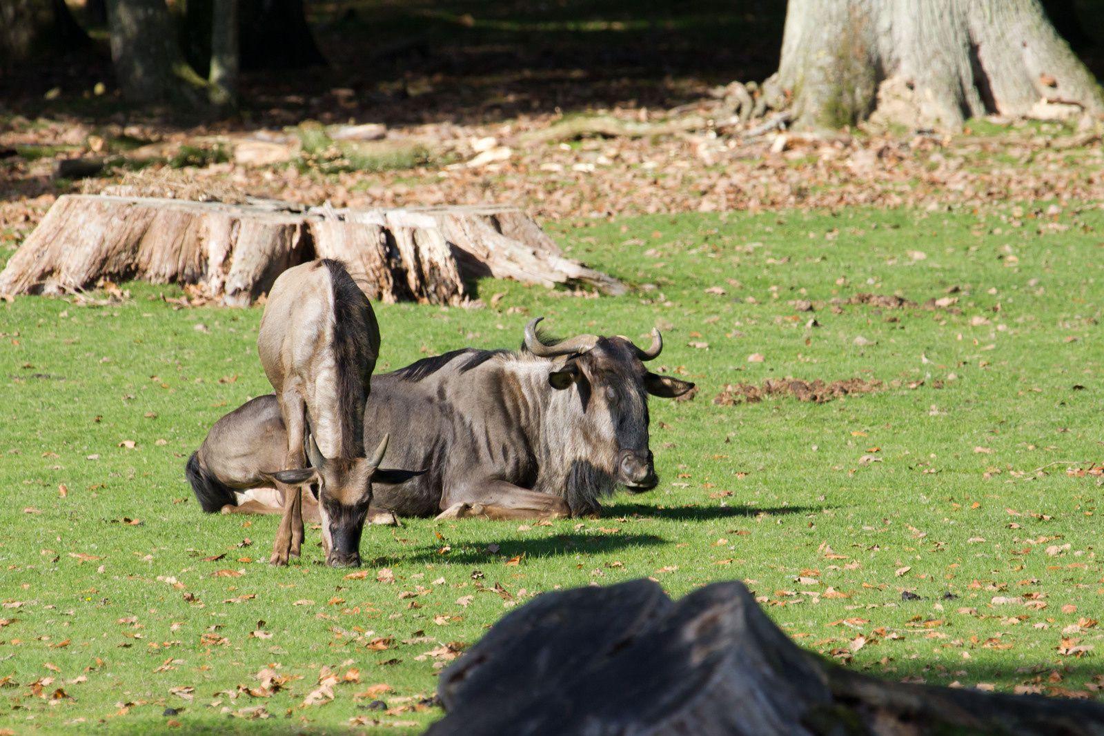 Animaux de la savane:  hippotrague noir, éland du cap, autruche, springbok, gnous bleus, ...