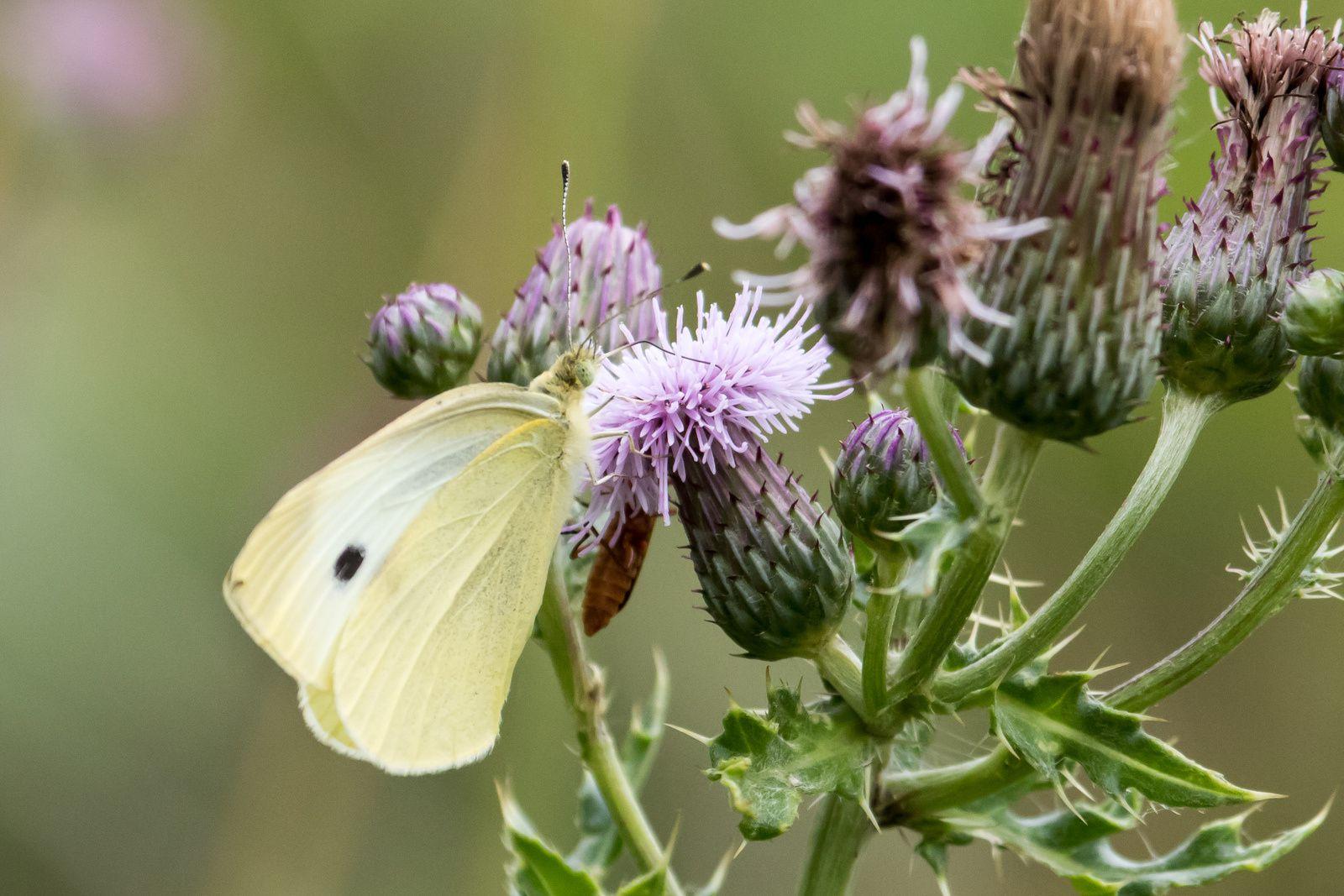 Quelques papillons.
