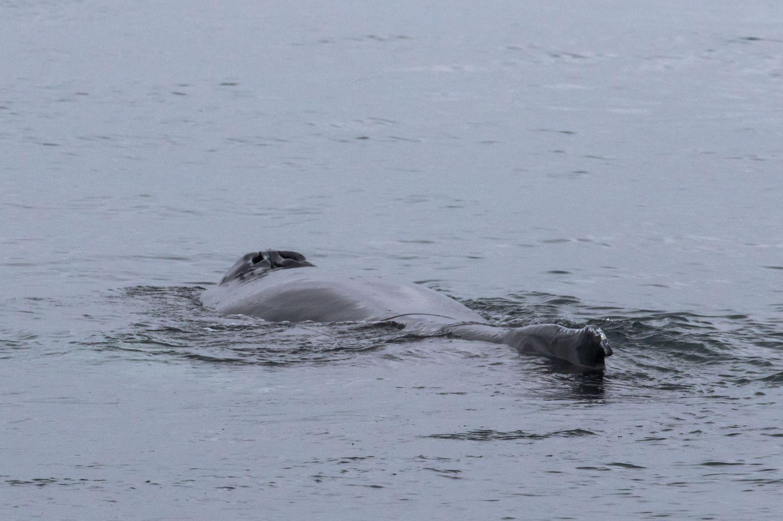 Islande: Baleines à Húsavík, Macareux et lac Mývatn !