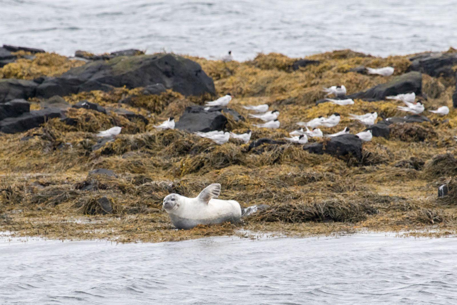 Phoques gris et veaux de mer