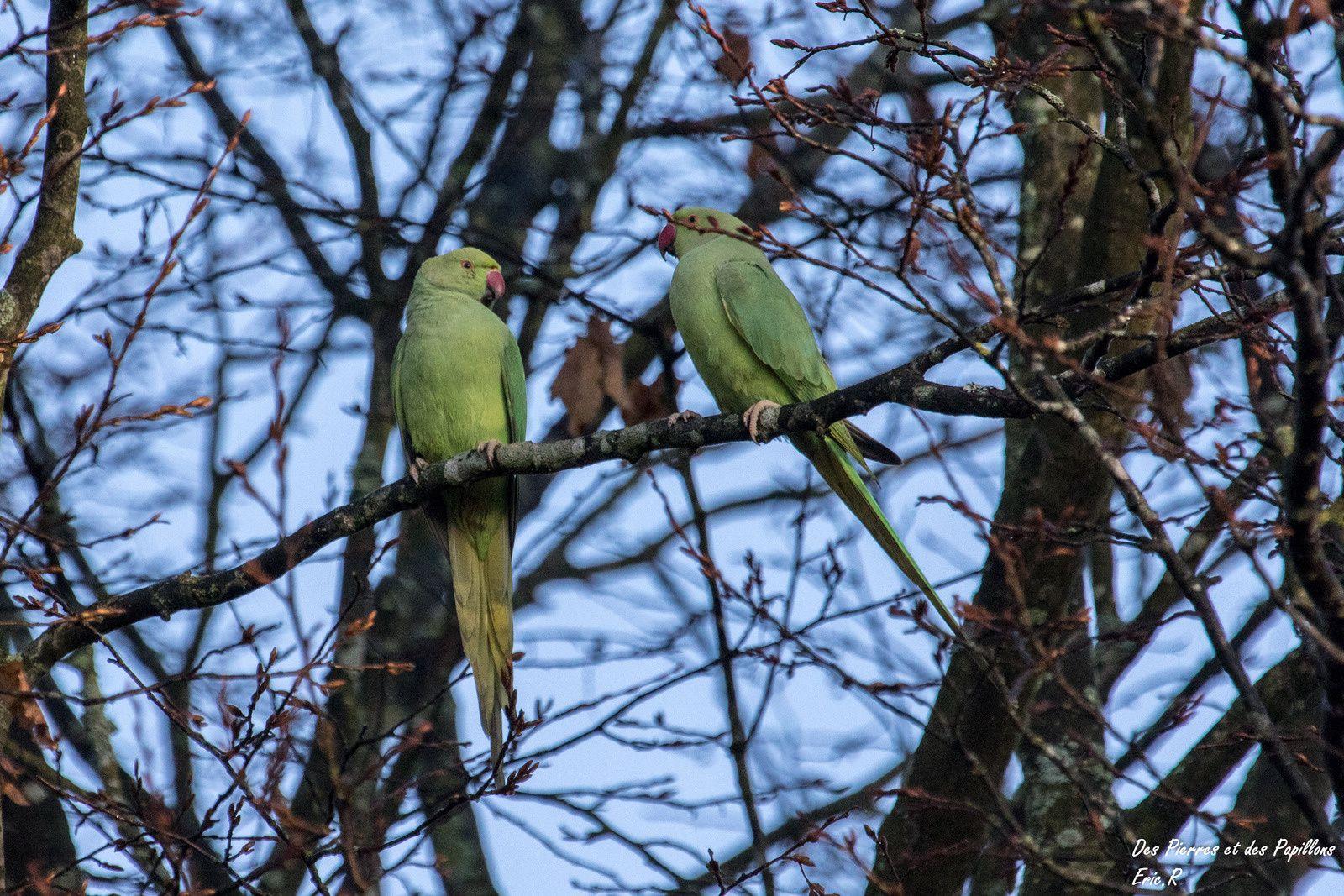 Des perruches à collier dans un parc de L'Isle-Adam
