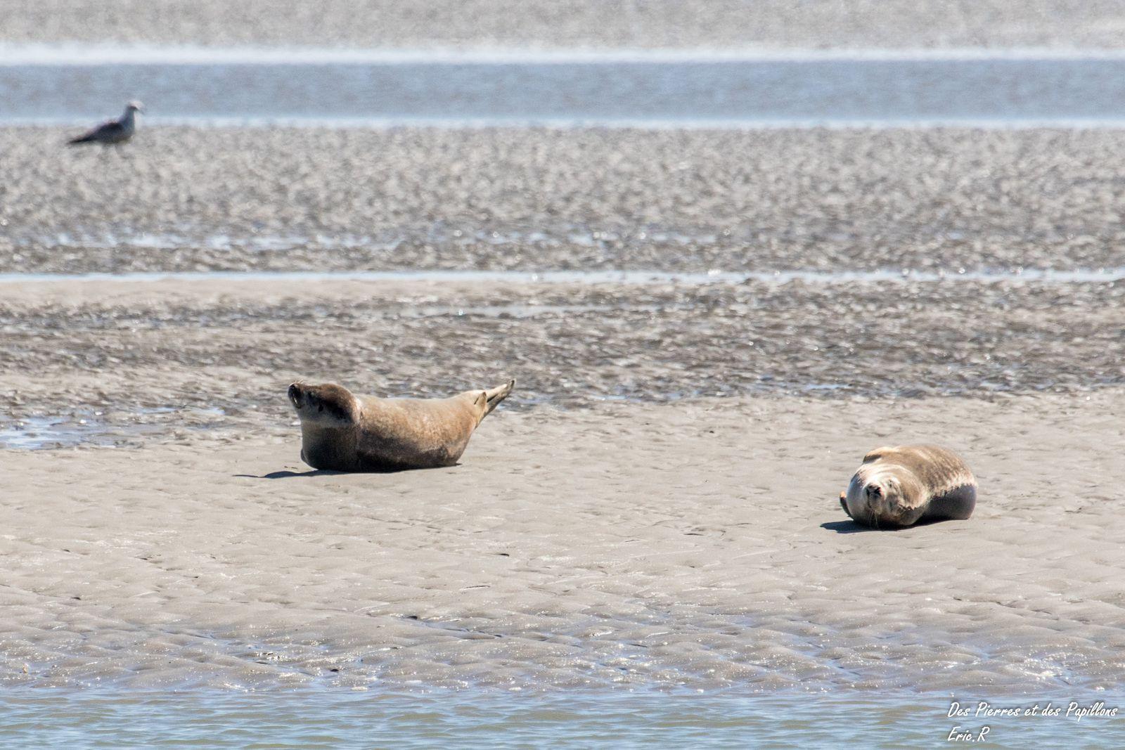 Des phoques dans la baie de l'Authie.