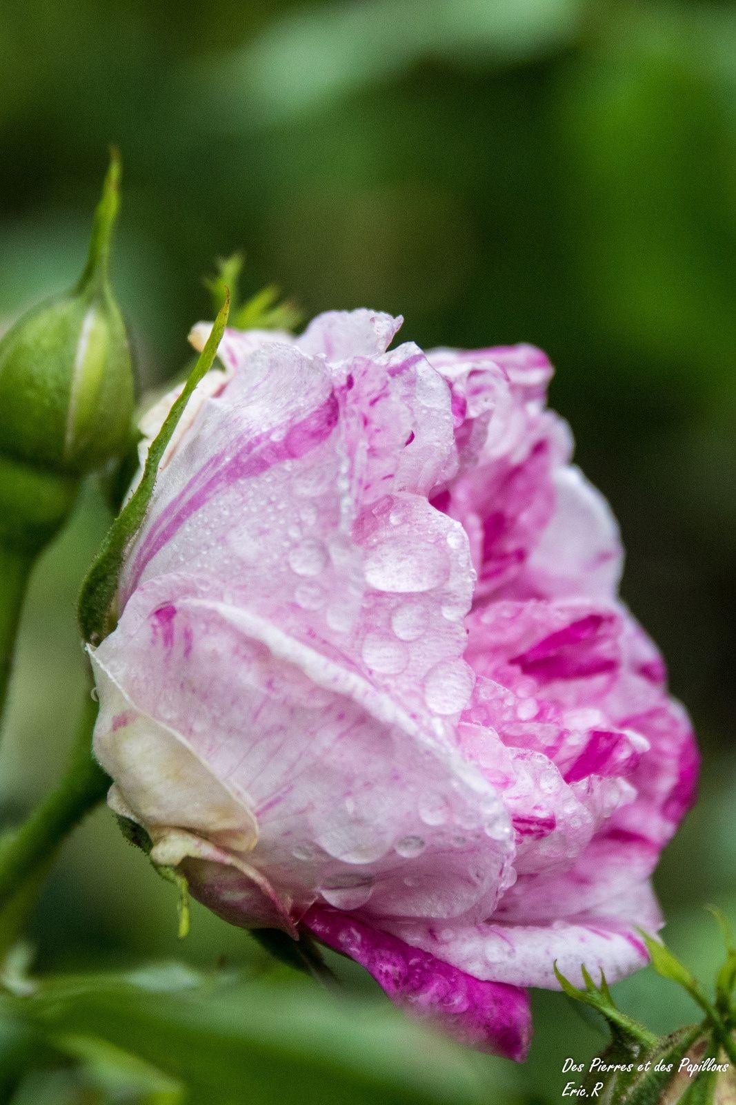 Des roses après la pluie.