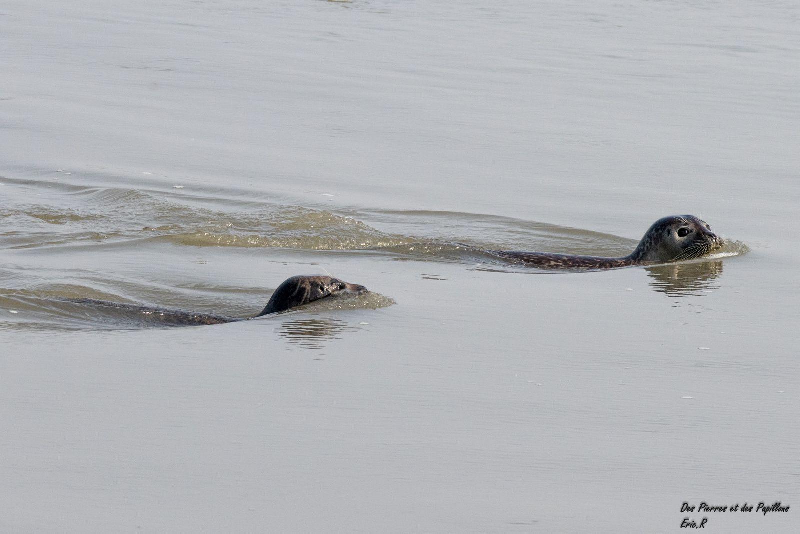 Phoques arrivant à la nage.