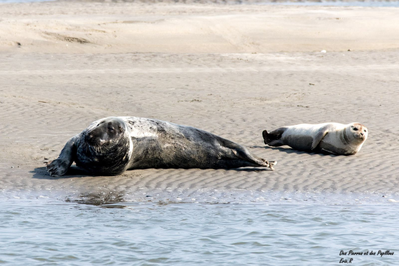 Des phoques gris et des veaux marins