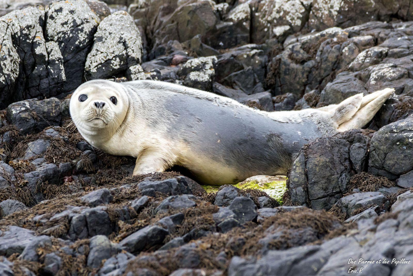 Les phoques aux Farne Islands
