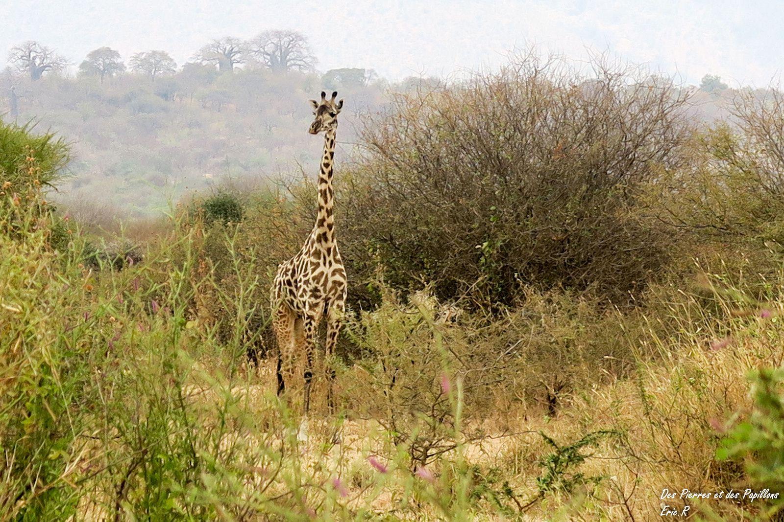 Des girafes masai.