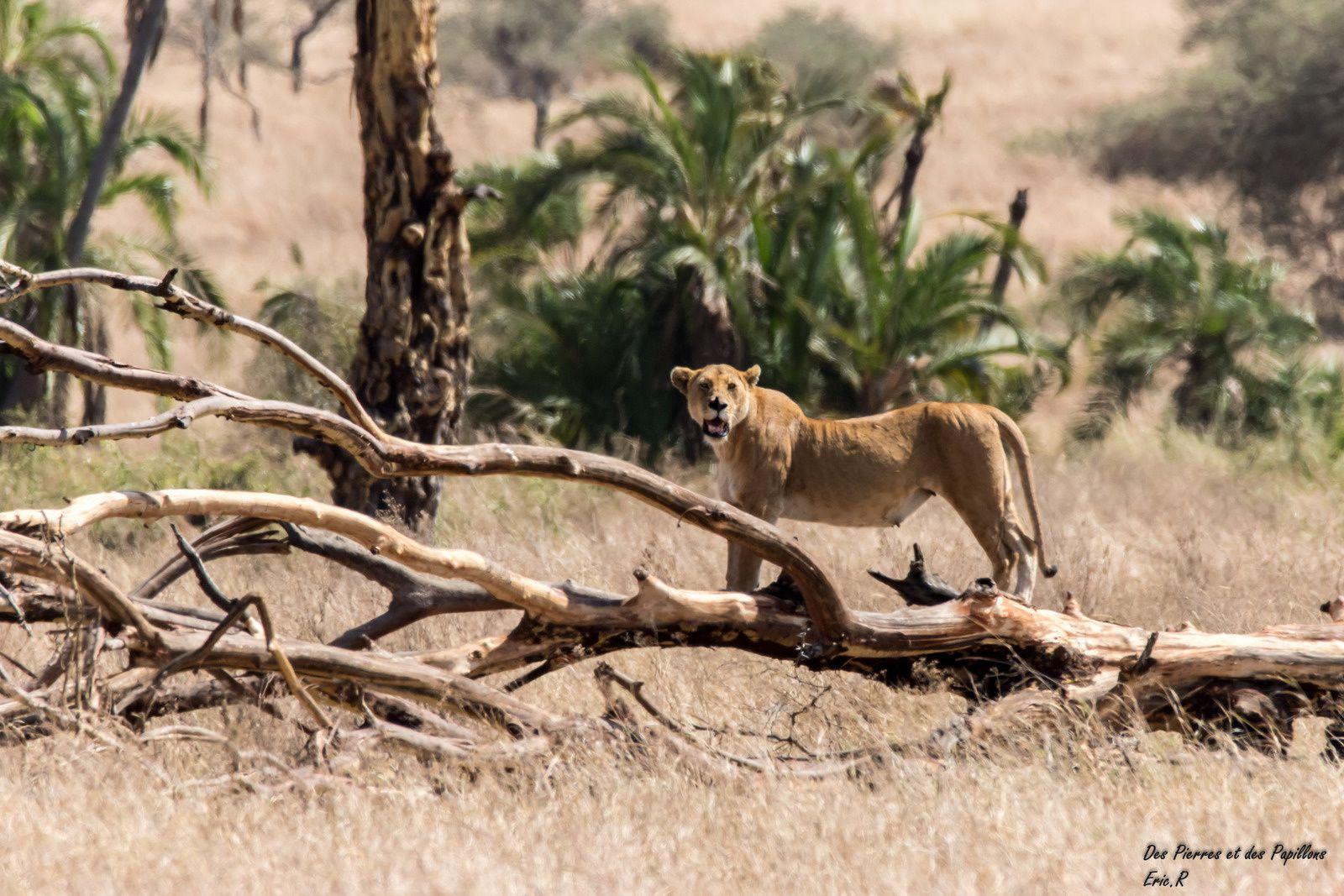 Une lionne en attente sur un tronc arbre.