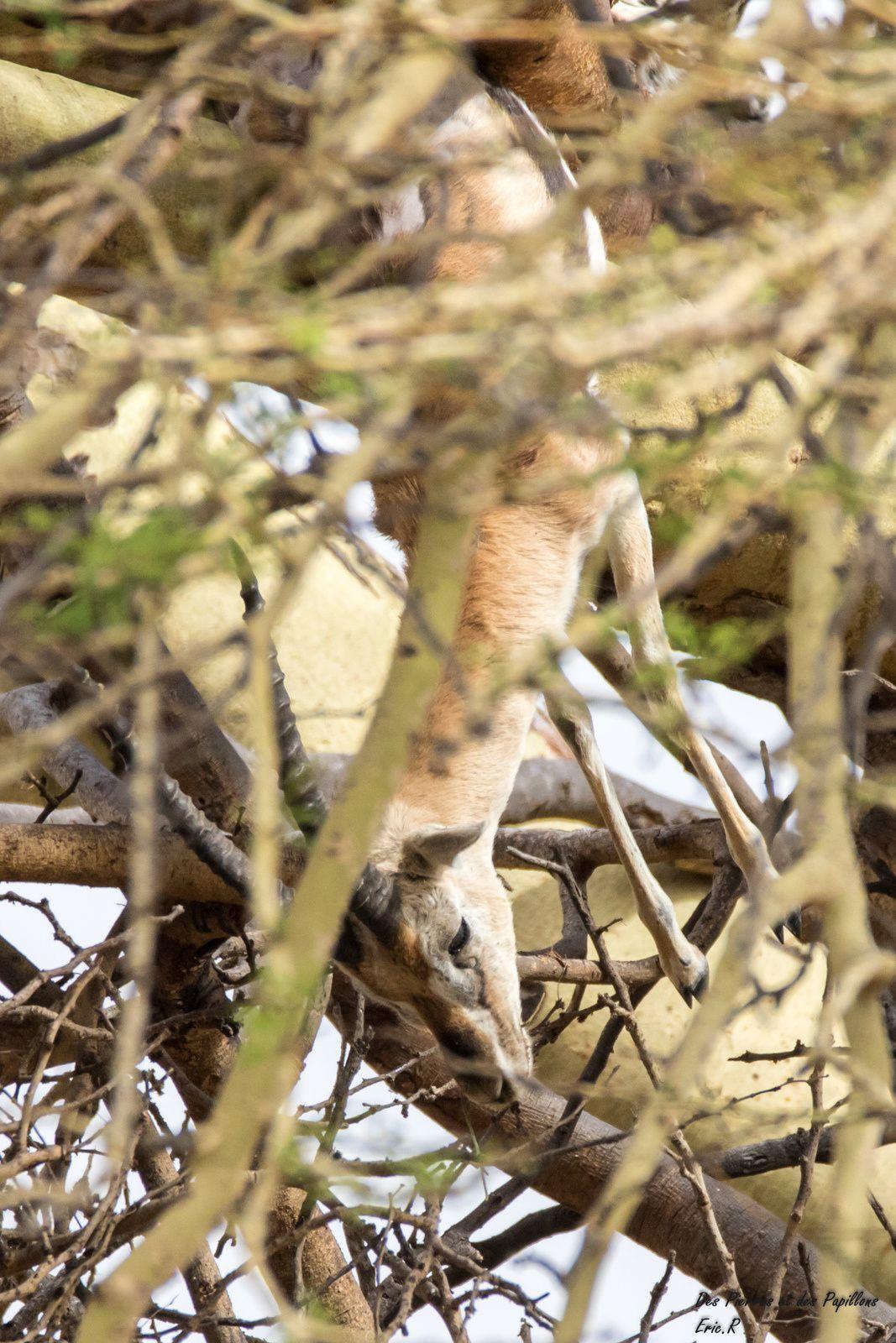 Une gazelle dans un arbre ?
