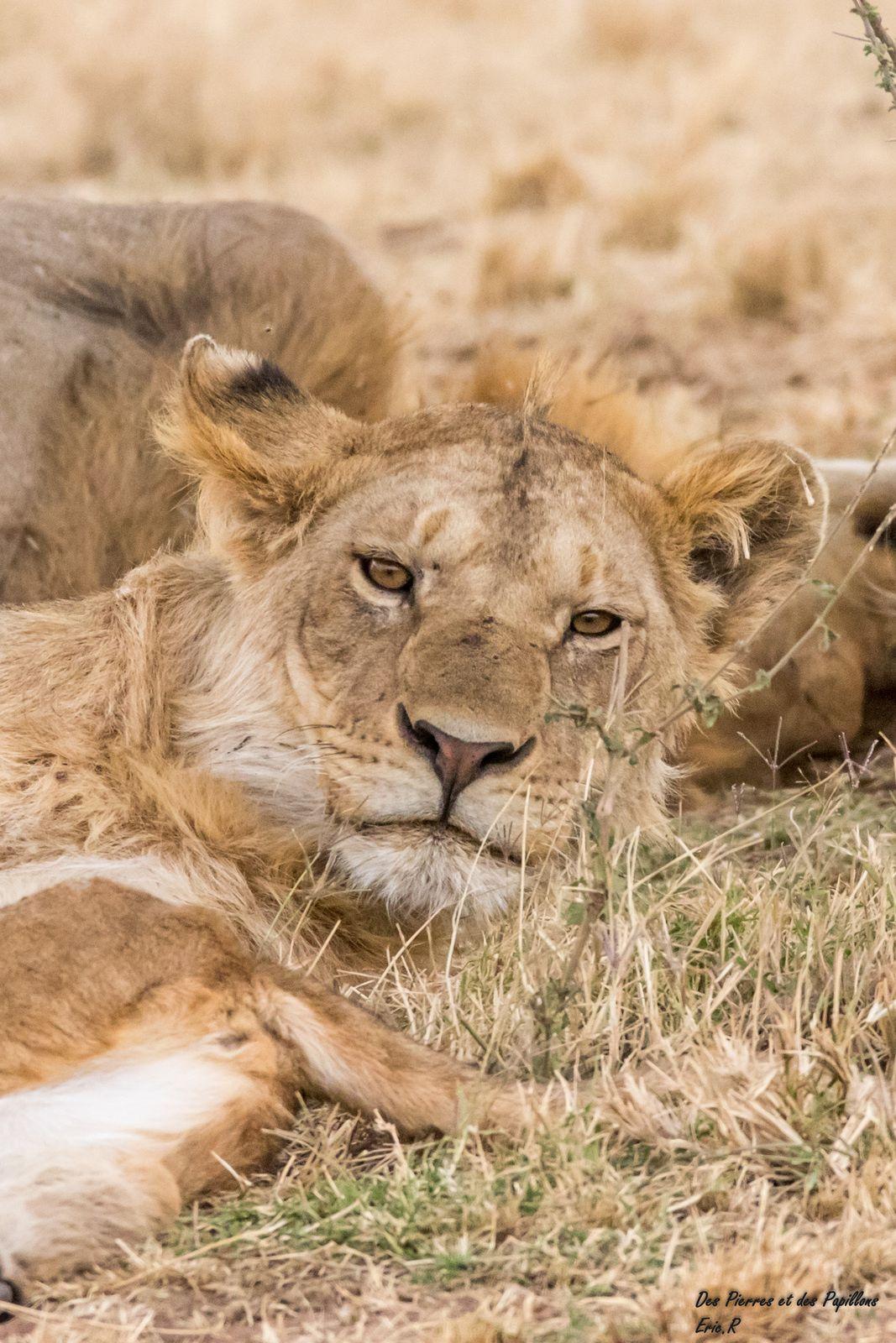 Un groupe de jeunes lions.