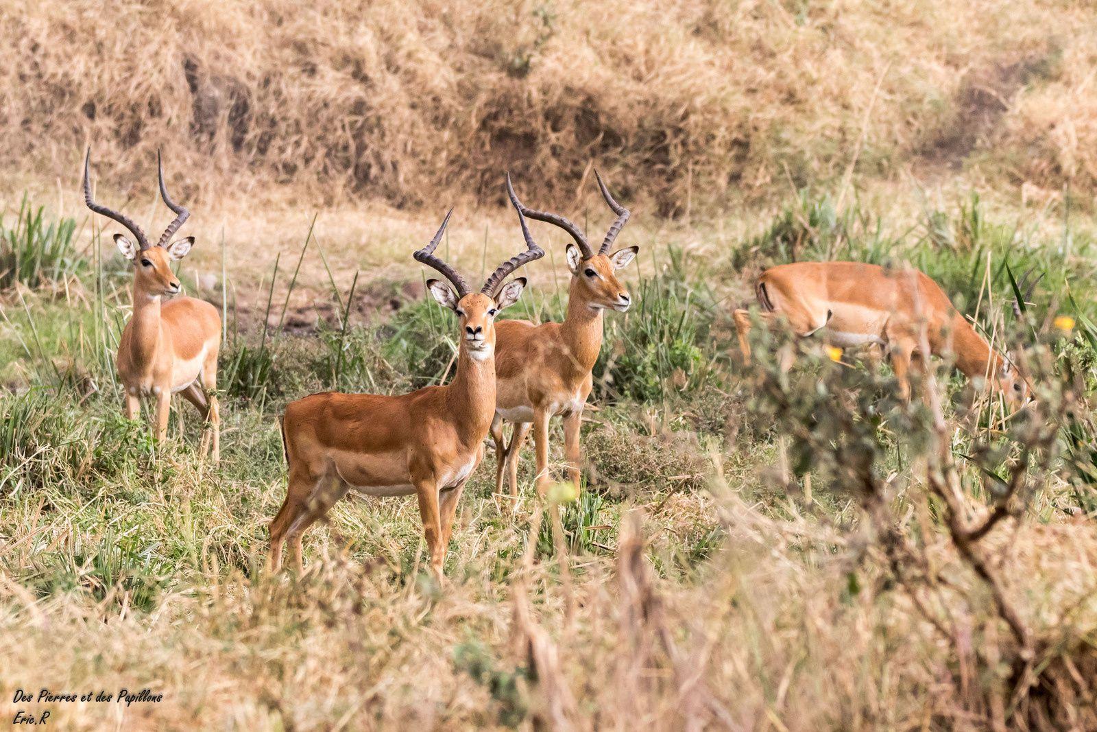 Des groupes d'impalas