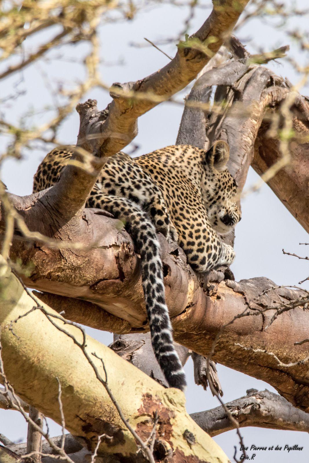 Un premier léopard en plein repas ... puis c'était l'heure de la sieste