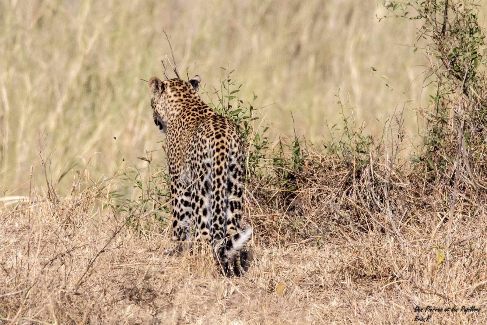 Un léopard, moment magique !