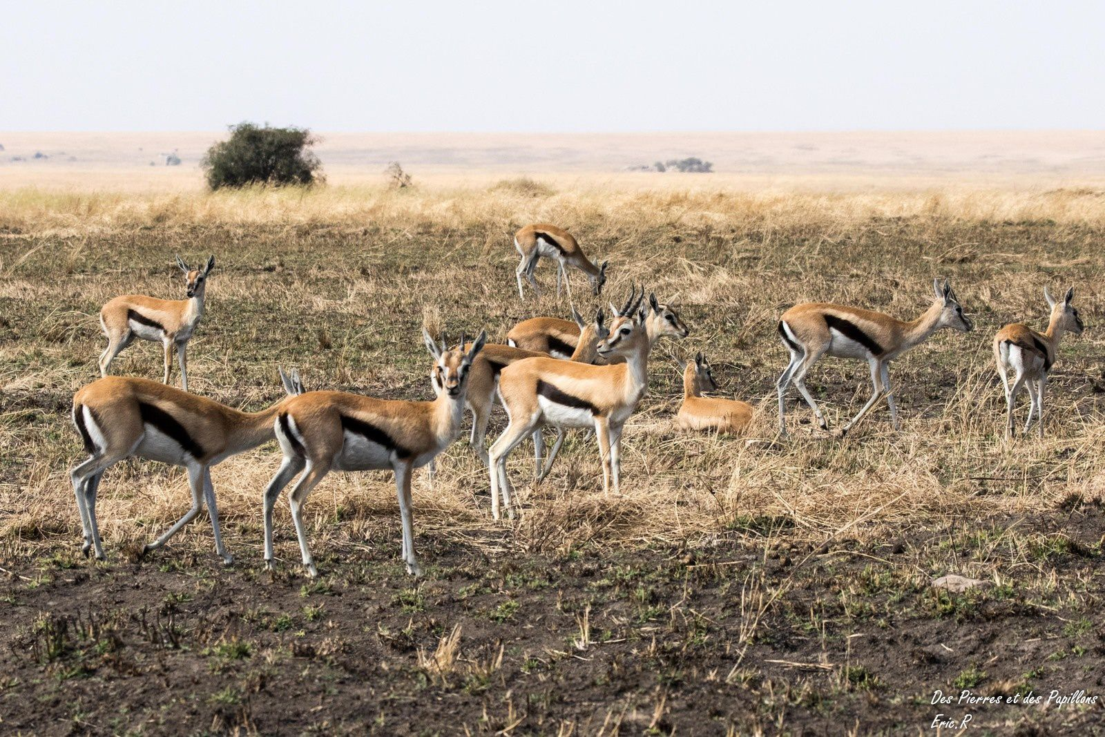 Gazelles de Thomson