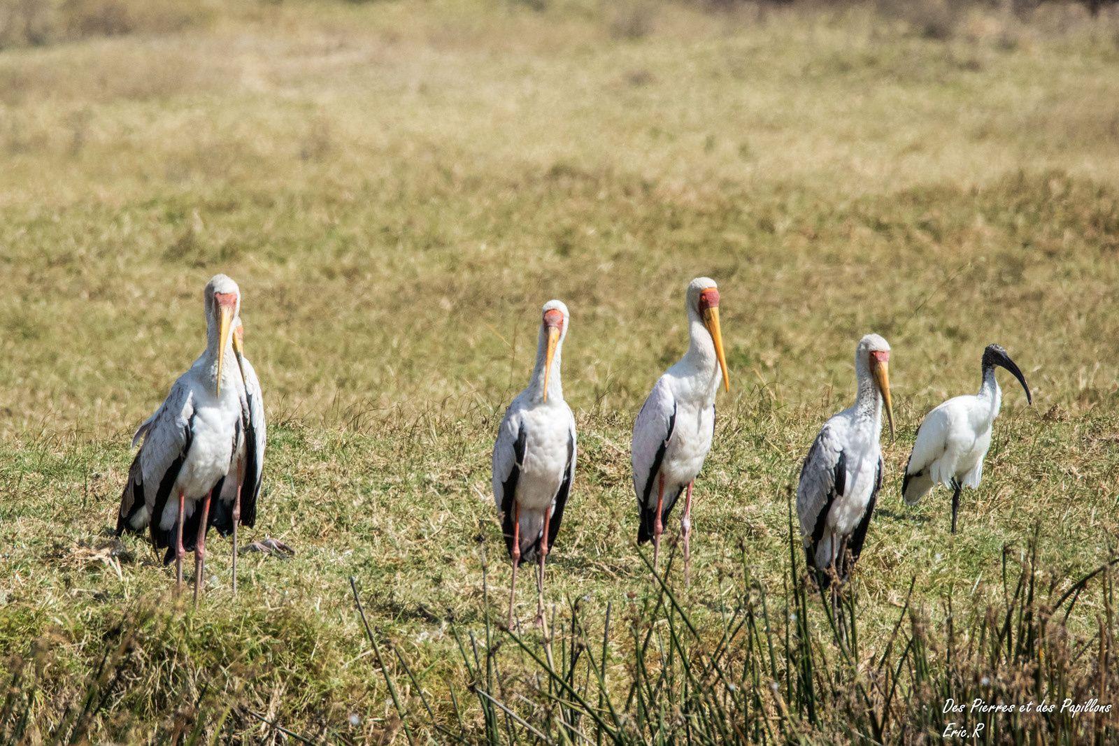 Un groupe de Tantale ibis