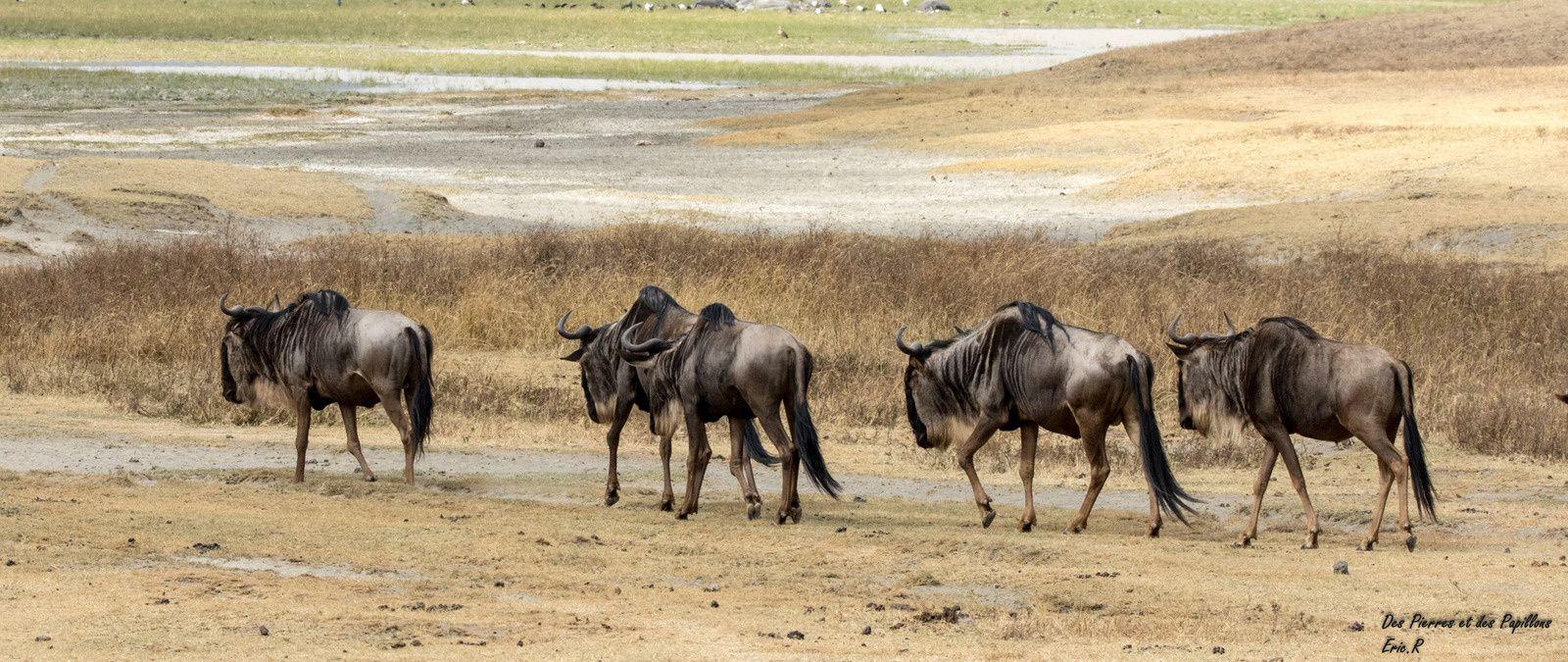Quelques groupes avec d'autres animaux : zèbres, hippopotames, ...