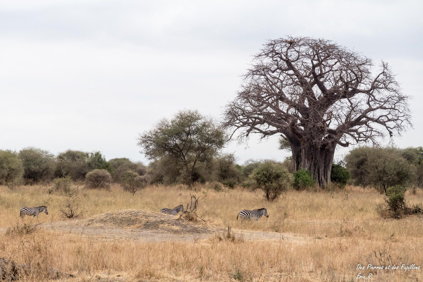 Quelques baobabs observés dans le parc.