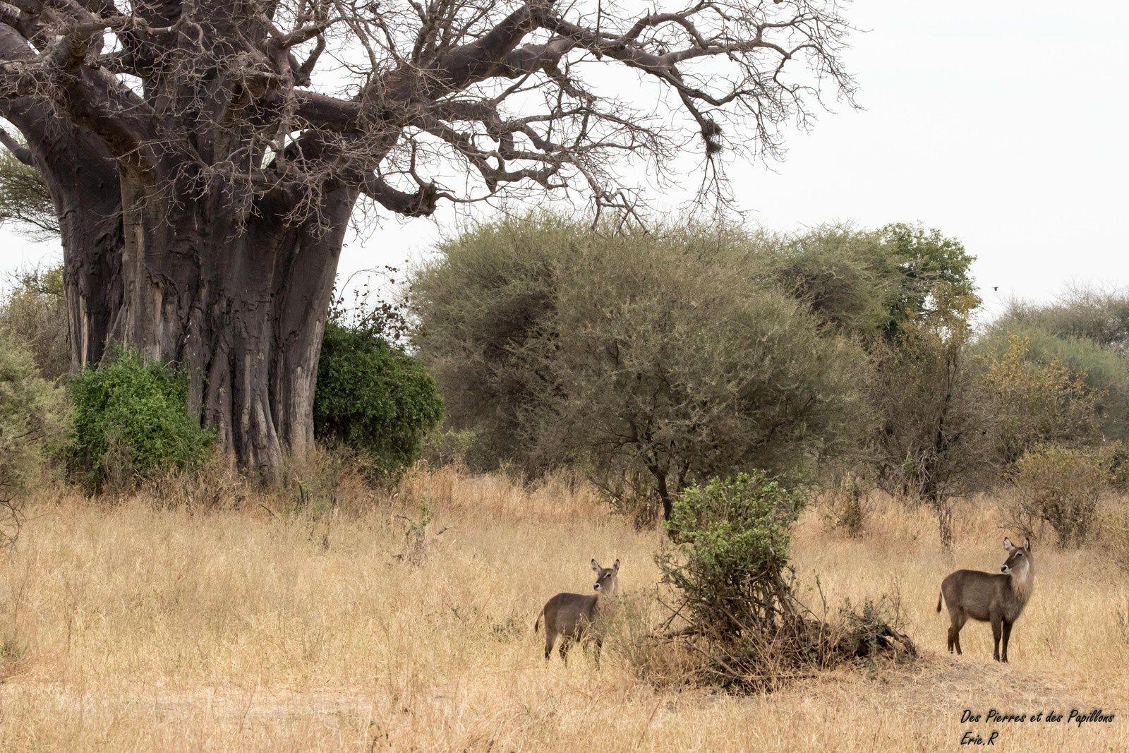 Devant un baobab.