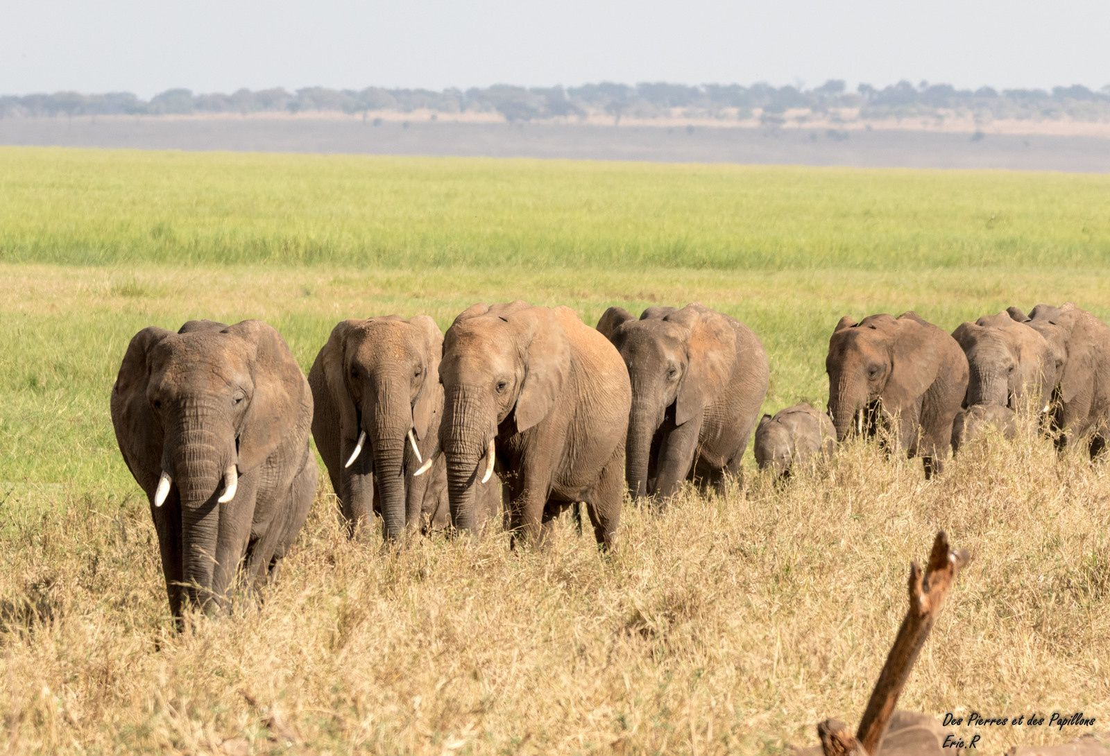 Troupeaux d'éléphants.