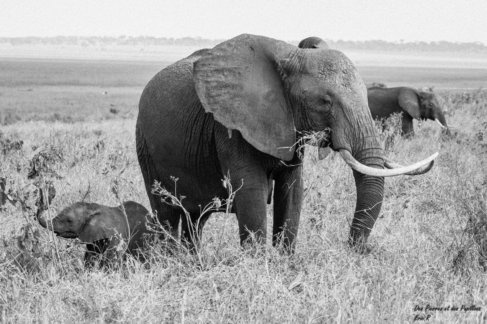 Des éléphanteaux entourés d'adultes.