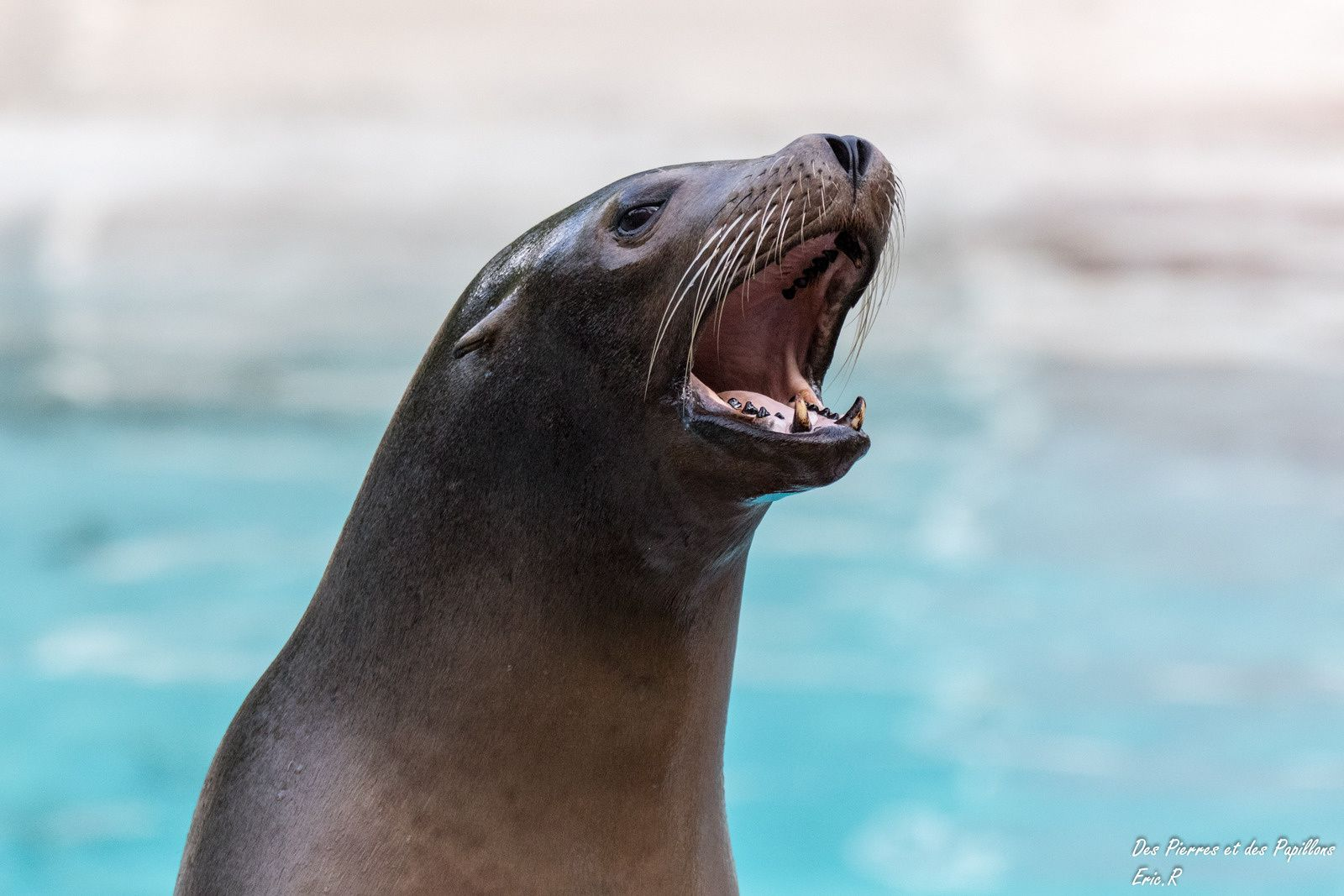 Otaries de Californie