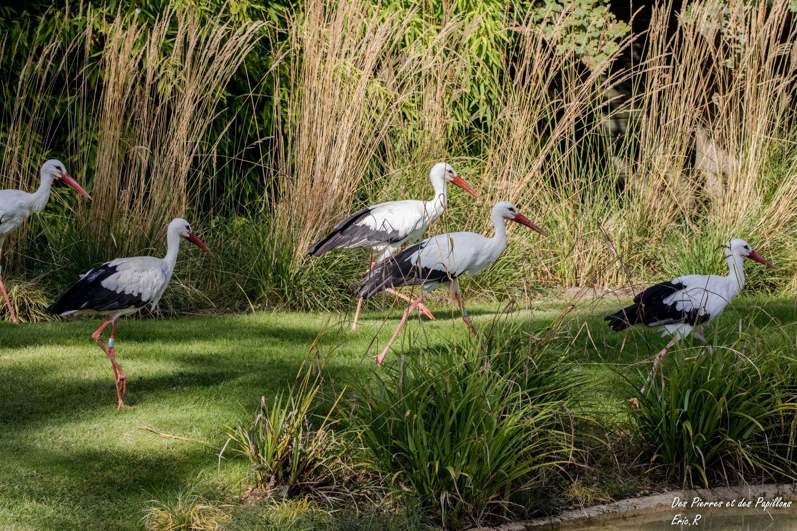 Des cigognes blanches