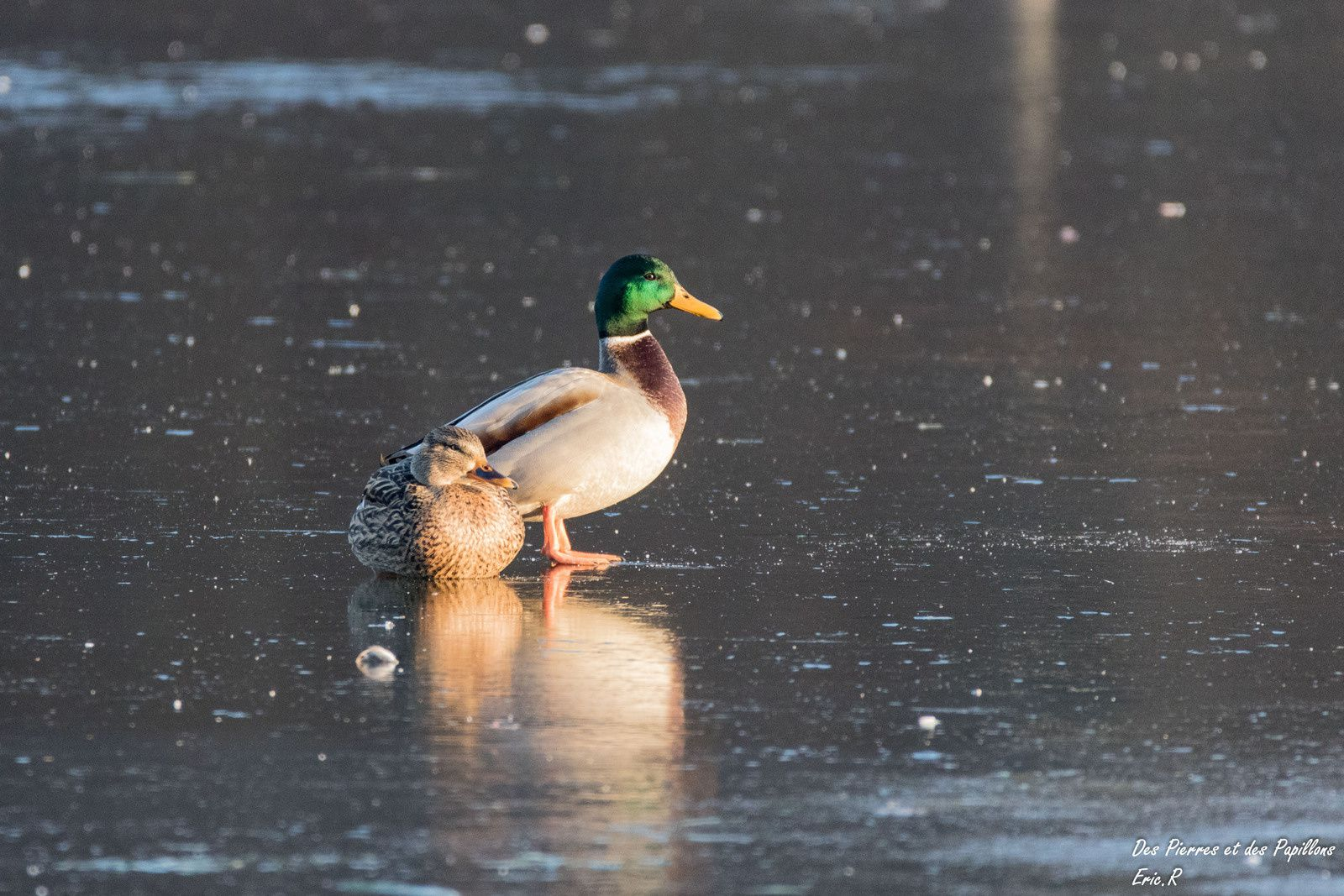Des canards colvert, seuls ou en groupe !