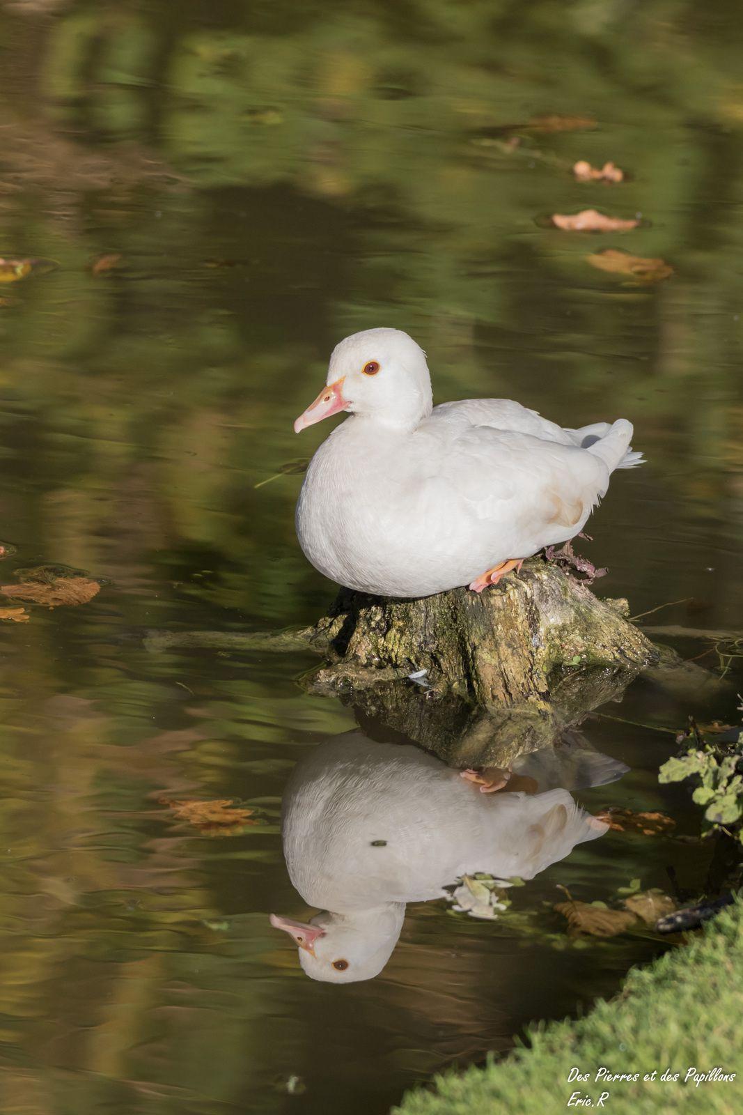 Femelle canard carolin albinos (?), à Méry-sur-Oise