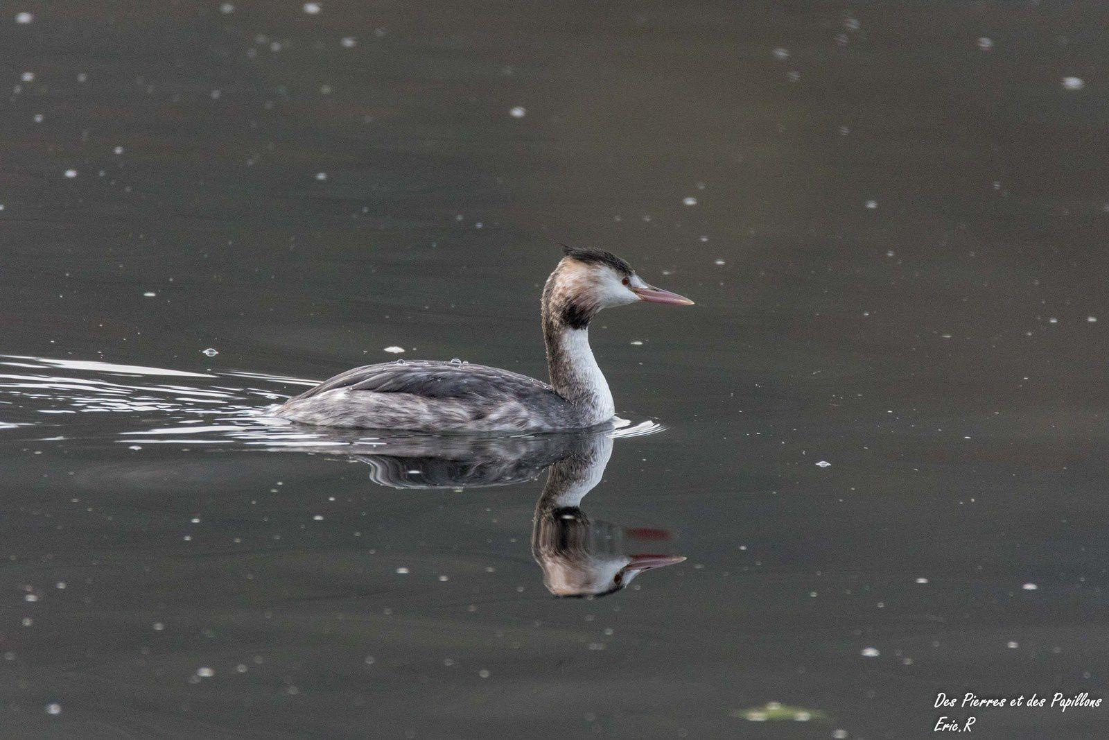 Des grèbes huppés avec leur plumage hivernal.
