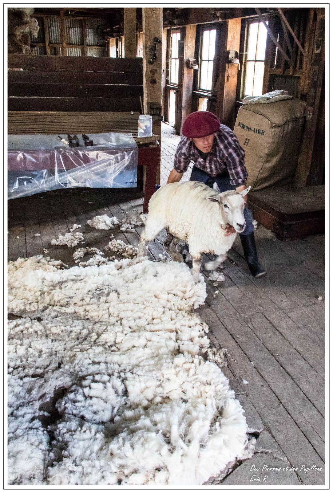 Tonte d'un mouton.