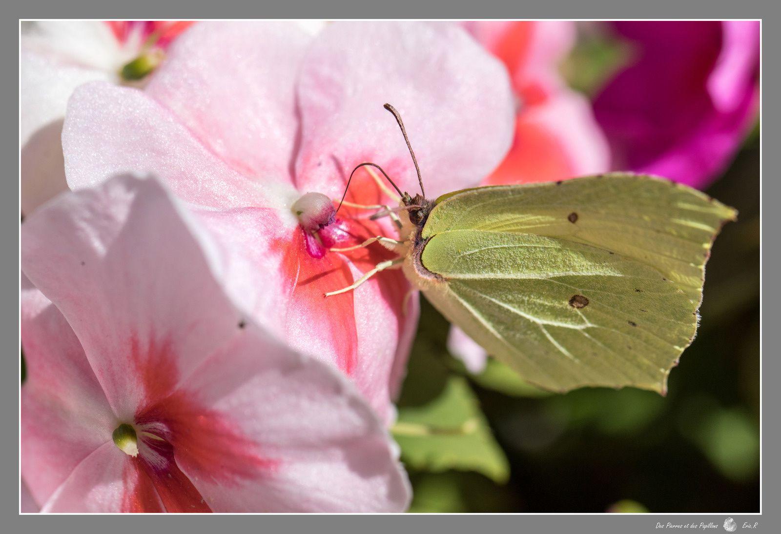 """Papillons """"Citron""""."""