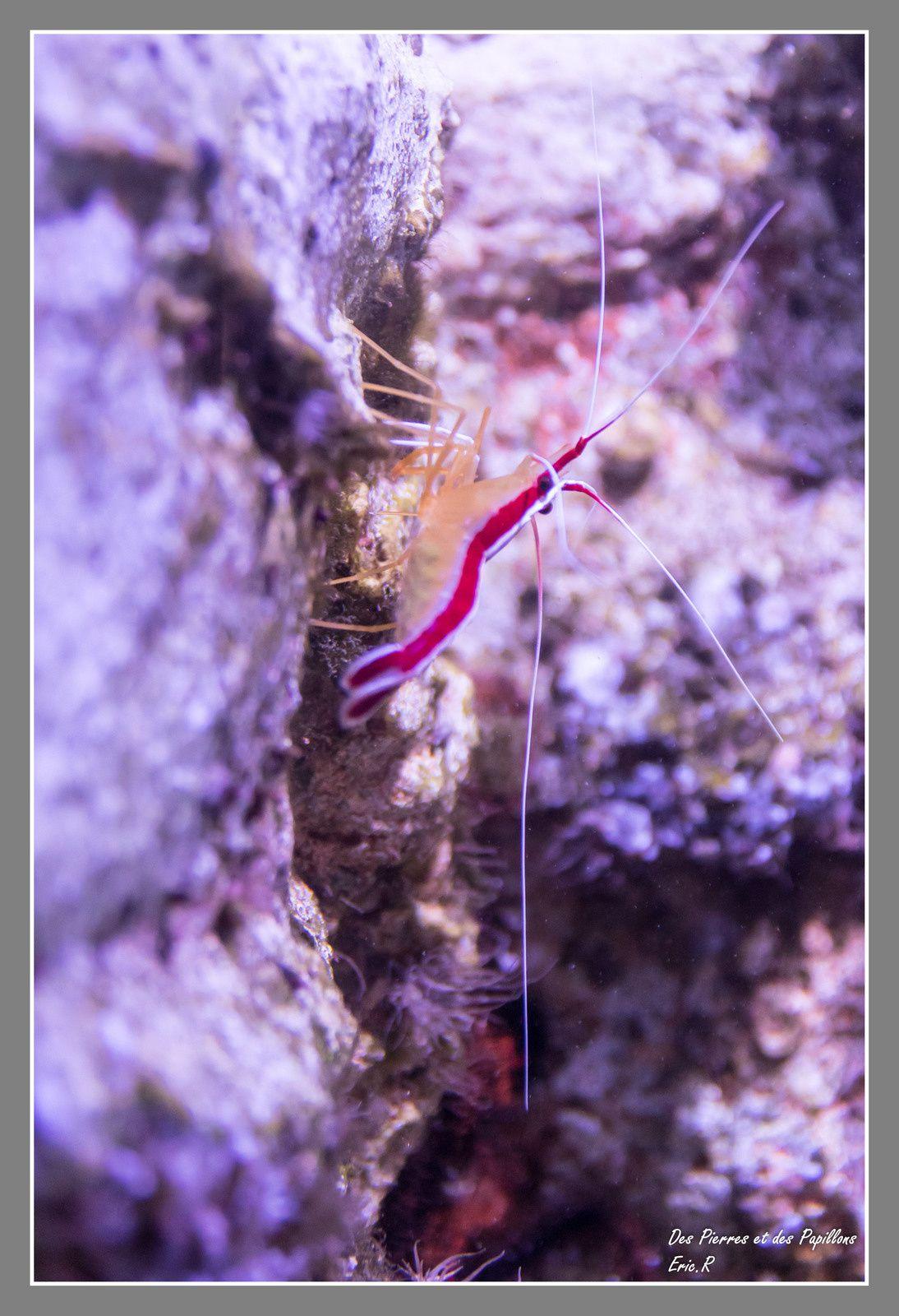 Une crevette lysmata