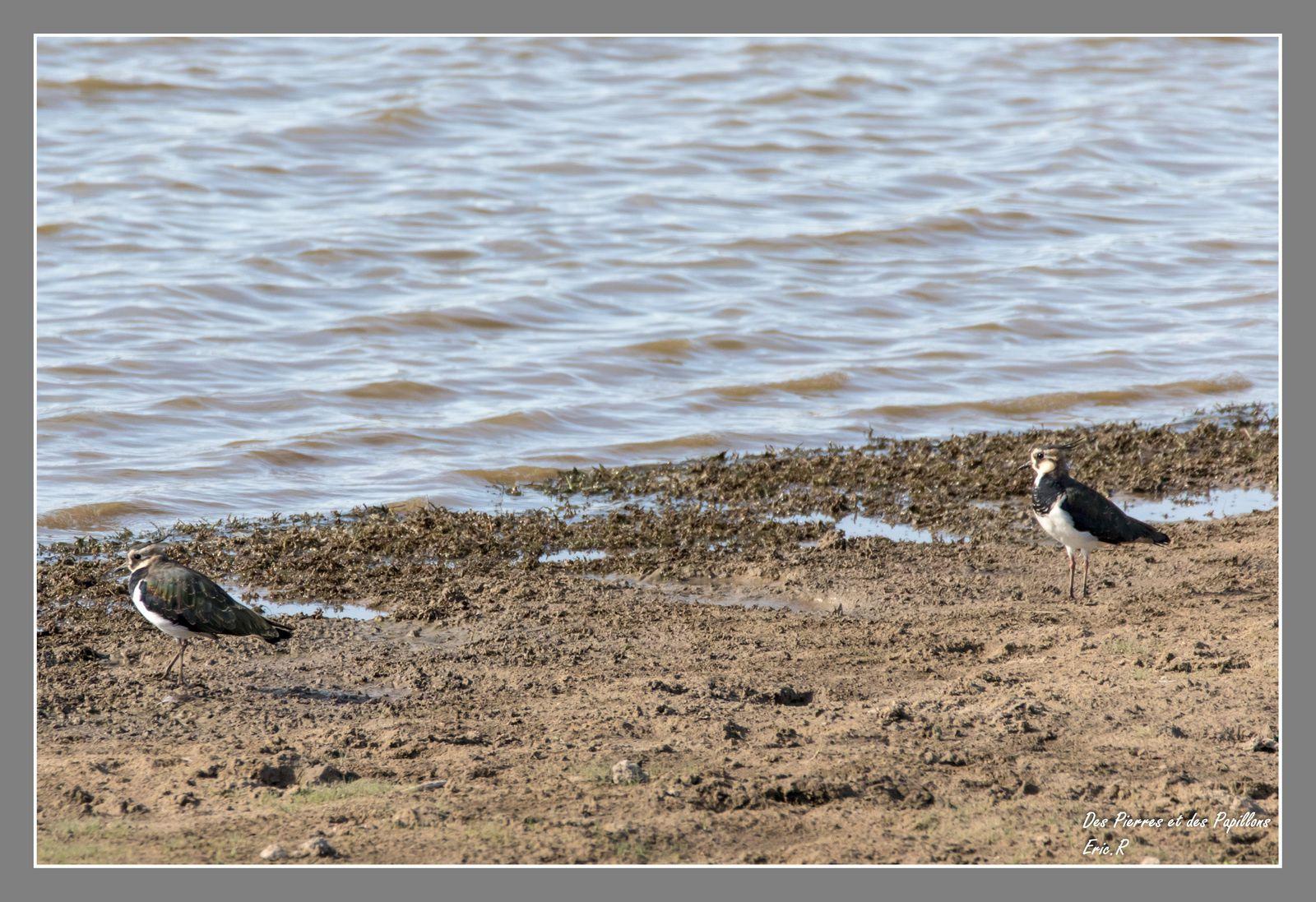 Un couple de vanneaux huppés à l'étang Bénisme