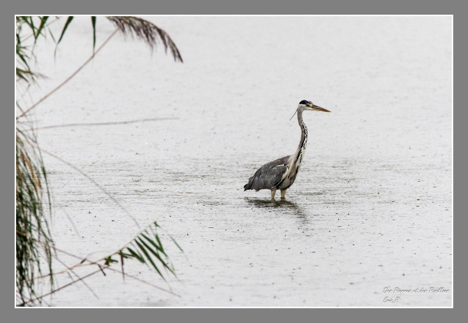Héron cendré au grand observatoire de l'étang Cistude ... sous une pluie battante