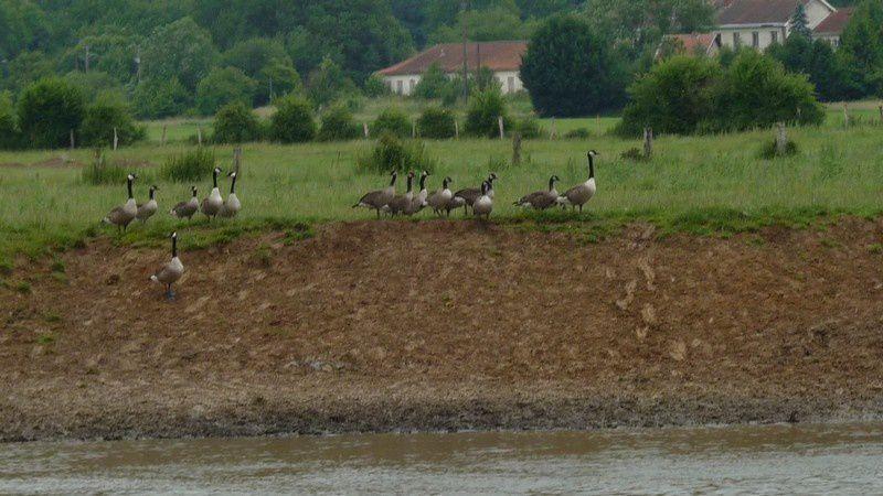 Rive droite de la Meuse, entre Nouvion-sur-Meuse et Élaire, le 29 juin 2013 à 10 h 51