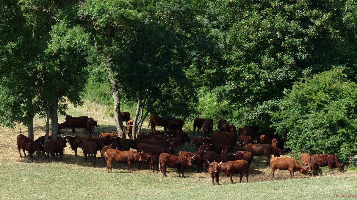 Vaches limousines près de Feuchères (Ardennes)