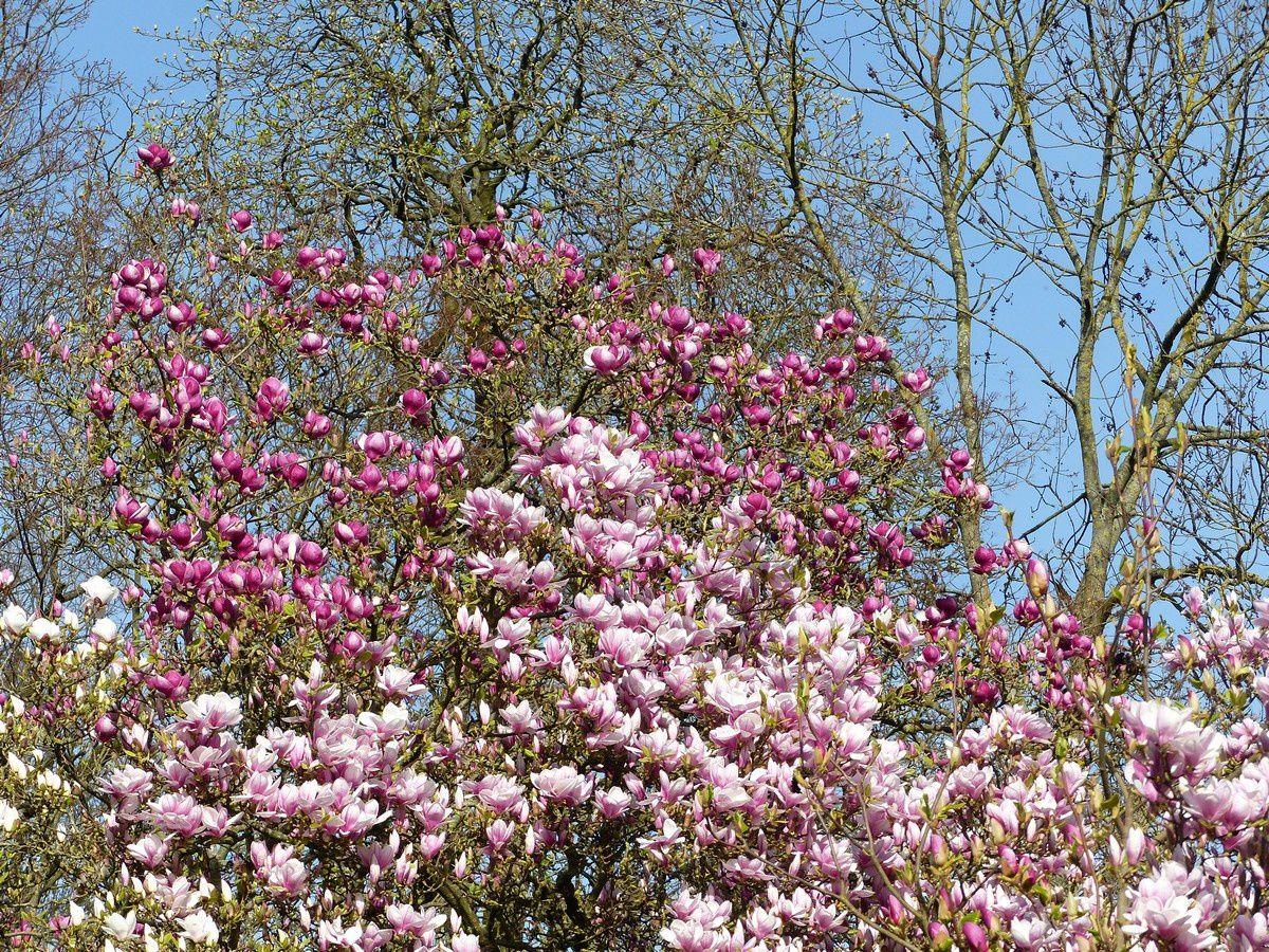 Le magnolia remarquable du Parc Sainte-Marie à Nancy