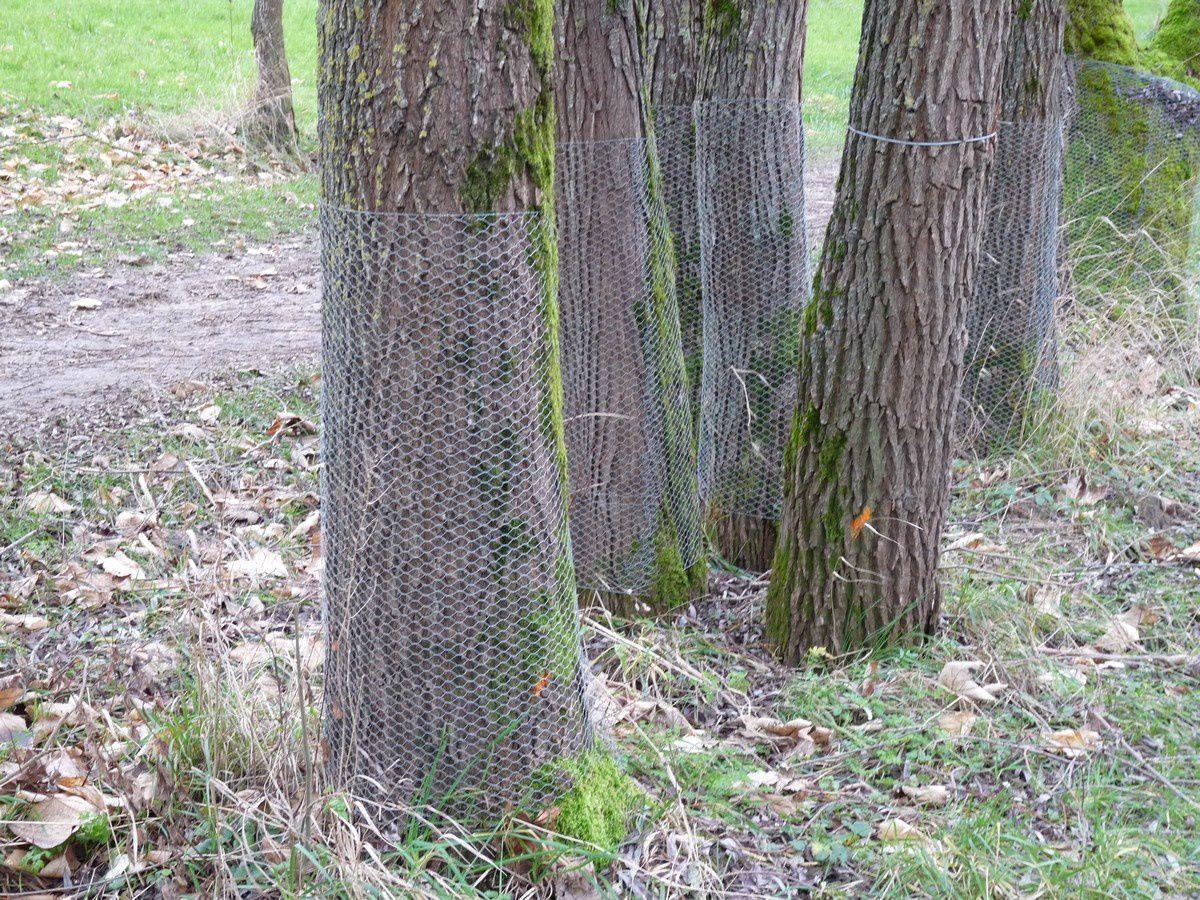La municipalité a protégé les troncs de certains arbres, mais il faudrait le faire pour tous.